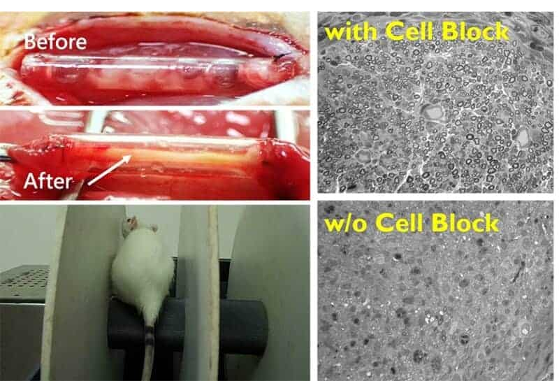 Figure 4. (a) 3D schwann cell bocks;(b) Live/Death of 3D schwann cell after 3 days culture; (c) schematic of schwann cell blocks into 3D printed PU-based conduits and the animal implantation